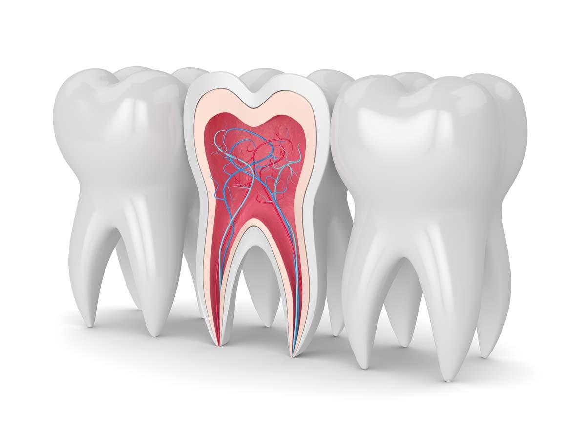 Radice del dente
